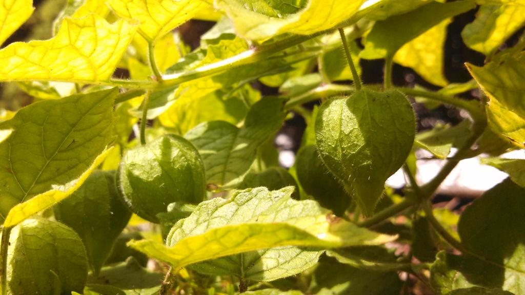 Wild Tomatillo Plant a Big Tomatillo Plant is